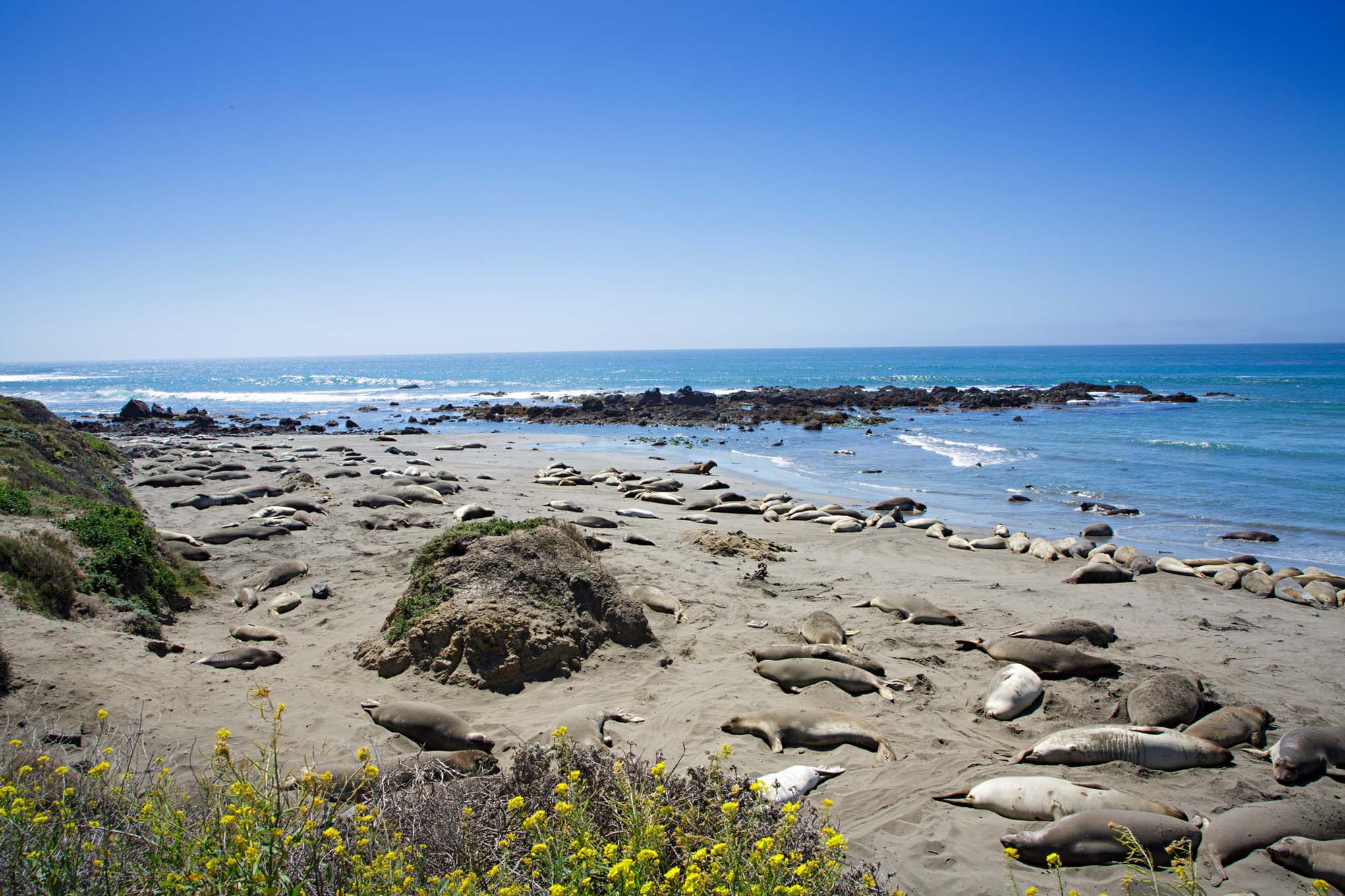 The next day we, set out early to drive Highway 1 to Monterey knowing we would be stopping often for photo ops and exploring. Just outside San Simeon, at the Piedras Blancas Elephant Seal Rookery, volunteers explained that they come to shore this time of the year to molt and breed.